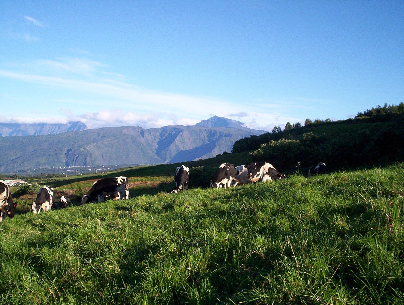 Vaches dans la prairie à la montagne