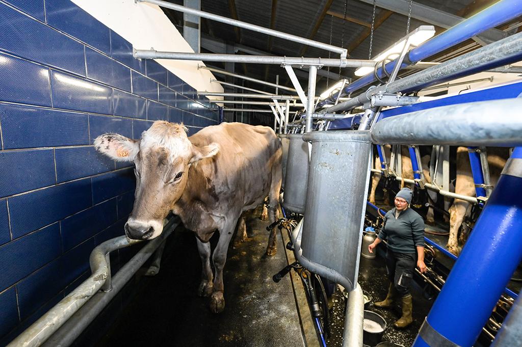 Vache laitière et fermière dans une ferme