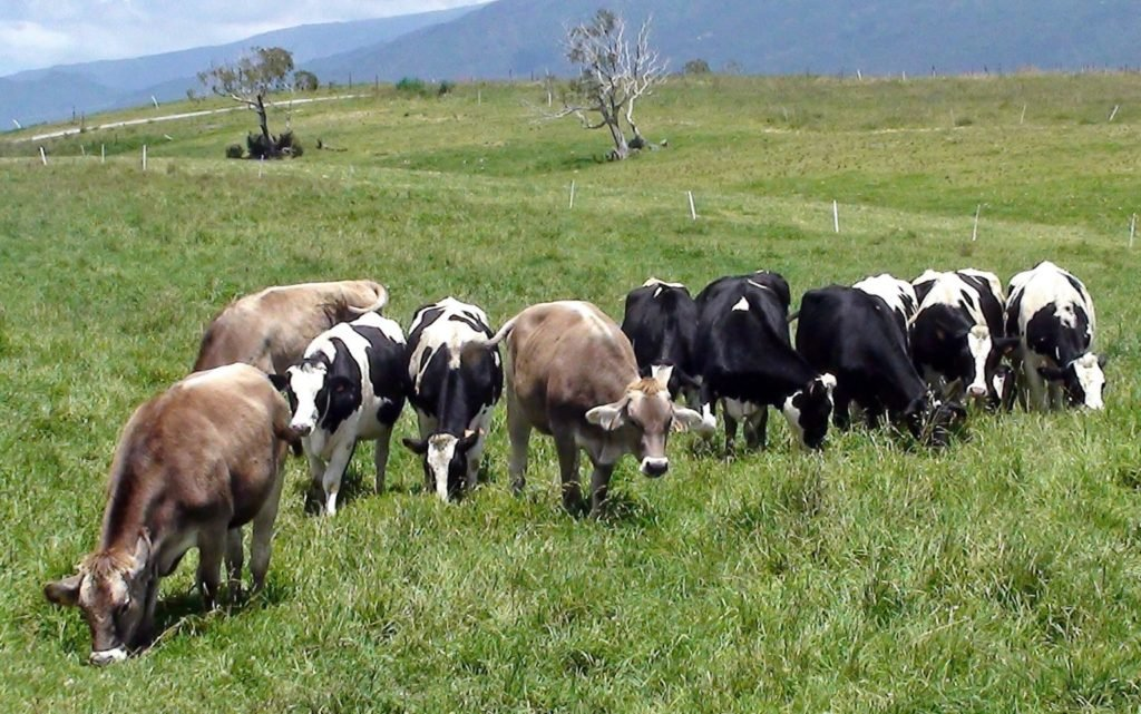 Vaches laitières qui mangent de l'herbe dans la prairie