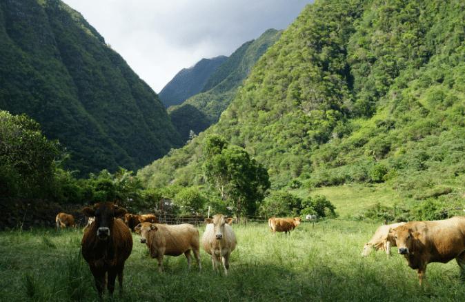 Troupeau de vaches laitières à la montagne
