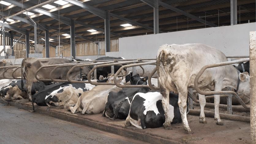 Vaches laitières dans une ferme